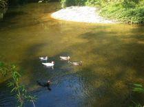 Patos do vizinho nadam